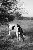 Vacca da latte Immagini Stock Libere da Diritti