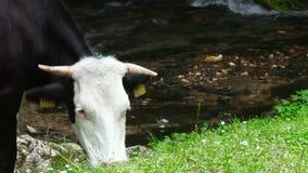 Vacca da latte che pasce vicino ad un'insenatura della montagna archivi video