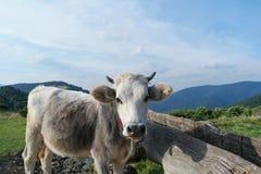 Vacca da latte con il pascolo sul pascolo alpino dell'erba verde delle montagne della Svizzera sopra cielo blu Fotografie Stock Libere da Diritti