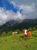Vacche alpascolo royaltyfri fotografi