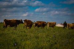 Vacche da latte di Amish nel campo Immagini Stock Libere da Diritti