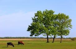 Vacche da latte screziate dell'azienda agricola su un pascolo Fotografia Stock