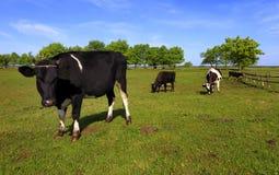 Vacche da latte screziate dell'azienda agricola su un pascolo Immagini Stock Libere da Diritti