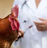 Vaccination de coq Photos stock