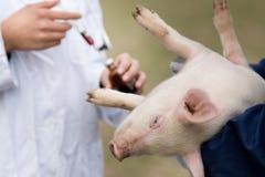 Vaccination de porcelet Photographie stock libre de droits