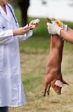 Vaccination of piglets Stock Image