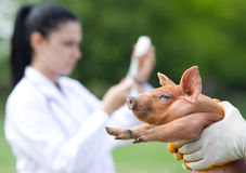 Vaccination of piglets Stock Photo
