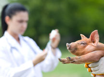 Vaccination of piglets Royalty Free Stock Images