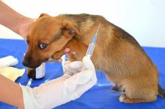 Vaccinazione dei cani Immagini Stock