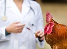 Vaccinazione del gallo Fotografie Stock