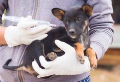 Vaccinerad hundkapplöpning Arkivfoton