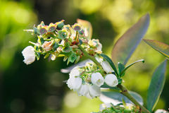 Vaccinium corymbosum Royalty Free Stock Photos