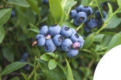 Vaccinium corymbosum, blue whortleberry Royalty Free Stock Images