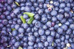 Vaccinium corymbosum bush blueberries Royalty Free Stock Photography