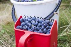 Vaccinium corymbosum bush blueberries Royalty Free Stock Images