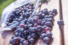 Vaccinium corymbosum bush blueberries Stock Image