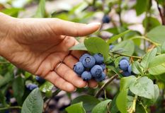 Feminine hand presents beautiful blueberry fruit. royalty free stock images