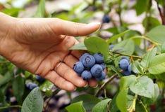 Feminine hand presents beautiful blueberry fruit. Royalty Free Stock Images