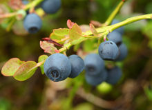 Vaccinium myrtillus (bilberry) Royalty Free Stock Photography