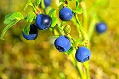Vaccinium myrtillus, Bilberry Stock Photography