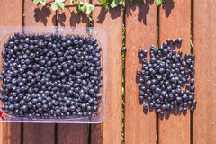 Vaccinium myrtillus blueberries Stock Photography
