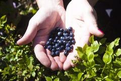 Vaccinium myrtillus blueberry Royalty Free Stock Image