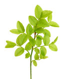 Vaccinium myrtillus branch Stock Photography