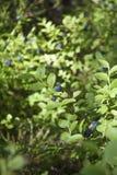 Vaccinium myrtillus bush Royalty Free Stock Image