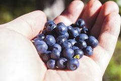 Vaccinium myrtillus on a hand Stock Photography