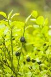 Vaccinium myrtillus L - frutta Fotografie Stock Libere da Diritti