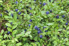 Vaccinium myrtillus. Is a species of shrub with edible fruit of blue color, commonly called bilberry, whortleberry or European blueberry Stock Image
