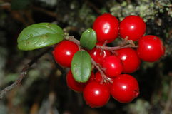 Vaccinium vitis-idaea Royalty Free Stock Image