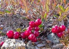 Vaccinium vitis idaea alpino dei mirtilli rossi della tundra immagine stock