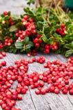 Vaccinium vitis-idaea berries of wild cowberry stock image
