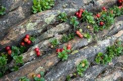 Vaccinium vitis idaea, Bieszczady, Poland Stock Photography