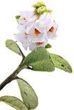 Vaccinium vitis-idaea Royalty Free Stock Photography
