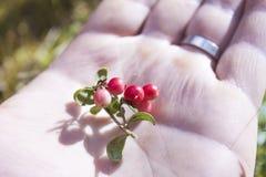 Vaccinium vitis-idaea on a hand Royalty Free Stock Image