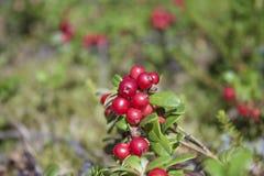 Vaccinium vitis-idaea Royalty Free Stock Images