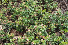 Vaccinium vitis-idaea (lingonberry or cowberry) Stock Photo