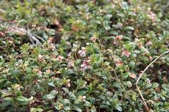 Vaccinium vitis idaea (lingonberry o uva di monte) Fotografia Stock