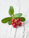 Vaccinium vitis-idaea,lingonberry Stock Images