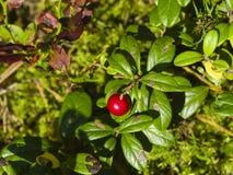 Vaccinium vitis-idaea Ripe cowberry macro, selective focus, shallow DOF Stock Photos