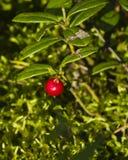 Vaccinium vitis-idaea Ripe cowberry macro, selective focus, shallow DOF Royalty Free Stock Photo