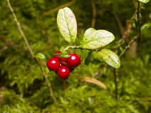 Vaccinium vitis-idaea, Ripe cowberry, in moss macro, selective focus, shallow DOF Royalty Free Stock Photo