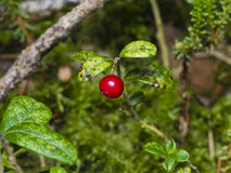 Vaccinium vitis-idaea, Ripe cowberry, in moss macro, selective focus, shallow DOF Royalty Free Stock Photography