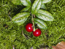 Vaccinium vitis-idaea, Ripe cowberry, in moss macro, selective focus, shallow DOF Royalty Free Stock Images