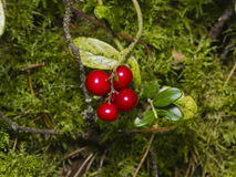 Vaccinium vitis-idaea, Ripe cowberry, in moss macro, selective focus, shallow DOF Stock Photo