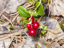 Vaccinium vitis-idaea, Ripe cowberry, small bush with berries and leaves macro, selective focus, shallow DOF Royalty Free Stock Image