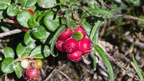 Vaccinium vitis-idaea, Ripe cowberry, small bush with berries and leaves in sand macro, selective focus, shallow DOF Royalty Free Stock Images