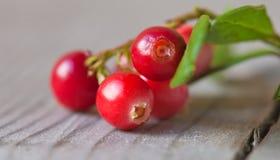 Vaccinium vitis, lingonberry obraz stock